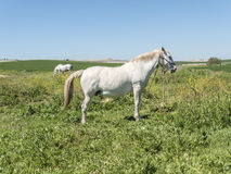 White horses in field in sunny day Stock Images