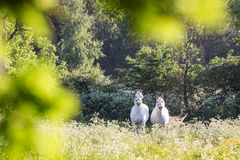 White horses in flower meadow Stock Photo
