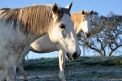 White horses frosty morning. Two white lusitano horses on a frosty morning in Portugal Royalty Free Stock Photos
