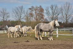 White horses grazing in the corral in Czech Republic. Detailed Picture of the white horse outside on the pasture land. Royalty Free Stock Images