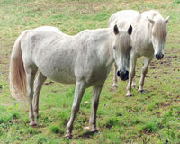 White Horses Grazing on a Farm Green Pasture Field Royalty Free Stock Photos