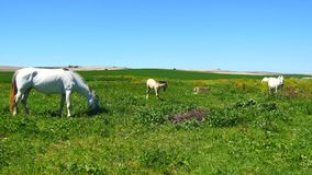 White horses grazing in field (4K) stock footage