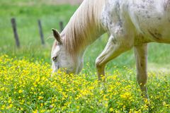 White horses grazing on a lush field covered with yellow flower field in Great smoky mountains national park,Tennessee USA. White horses grazing on a lush field royalty free stock image