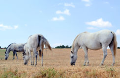 White horses grazing in the meadow Stock Photos