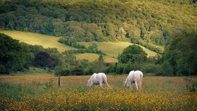 White Horses Grazing On Summer Evening. Couple of horses with fly netting graze in pretty field with wild flowers stock video footage