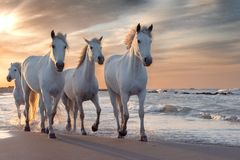 Free White Horses In Camargue, France Royalty Free Stock Image - 156351086