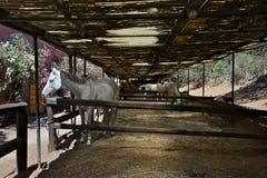 White horses inside the paddocks Stock Images