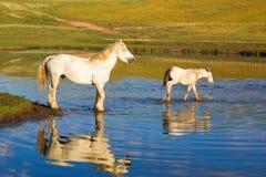 White horses on the lake Stock Photo