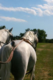 White horses Lipica Royalty Free Stock Images