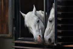 White horses looking out the window stables looking at each other royalty free stock photos