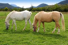 White horses meadow prairie grassland Pyrenees Stock Images