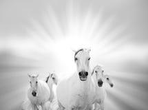 White horses Stock Images