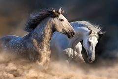 White horses in motion Royalty Free Stock Images