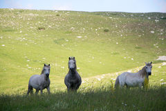 White horses at mountain pasture Royalty Free Stock Photography