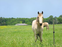 White horses in pasture Stock Photo