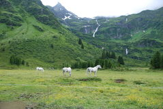 White horses pasturing in the Austrian alps Stock Photography