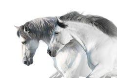 White horses portrait. With long mane on white background. High key image royalty free stock photography