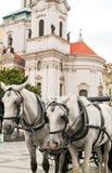 White horses in Prague Royalty Free Stock Image