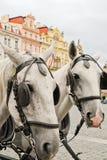 White horses in Prague Stock Photography