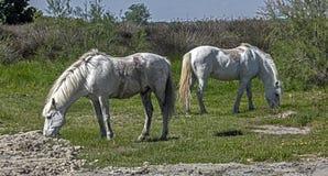 White horses 1 Stock Images