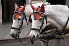 White horses with red hats royalty free stock photos