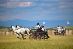 White horses with riders and carriage on finish line at the horse track. Horse contest with carriage on sunny day. This is a regional contest in Covasna County Royalty Free Stock Image