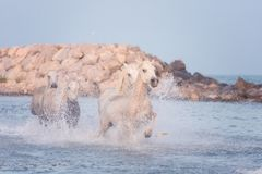 White horses run gallop in the water at sunset, Camargue, Bouches-du-rhone, France. White horses run gallop in the water at soft sunset light, National park royalty free stock photo