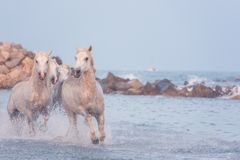 White horses run gallop in the water at sunset, Camargue, Bouches-du-rhone, France. Beautiful white horses run gallop in the water at sunset, National park stock photography