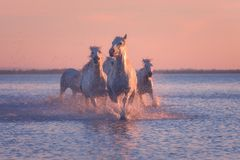 White horses run gallop in the water at sunset, Camargue, Bouches-du-rhone, France. White horses run gallop in the water at soft pink sunset light, National park stock photography