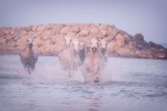 White horses run gallop in the water at sunset, Camargue, Bouches-du-rhone, France. White horses run gallop in the water at soft sunset light, National park royalty free stock image