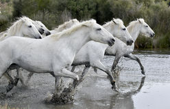 White horses  running through water. Royalty Free Stock Photography