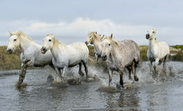 White horses  running through water. Stock Image
