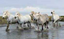 White horses  running through water. Stock Image