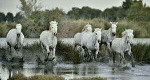 White horses  running through water. Royalty Free Stock Photo