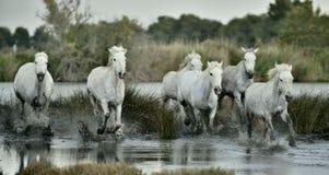 White horses  running through water. Royalty Free Stock Photo