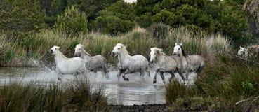 White horses  running through water. Royalty Free Stock Image