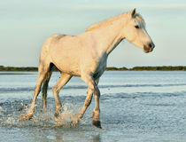 White horses running through water in sunset light. Royalty Free Stock Photos