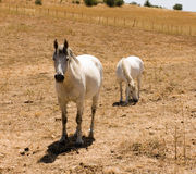 White horses in rural field Royalty Free Stock Image