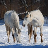 White horses in the snow Stock Images
