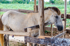 White horses in a stable Stock Photography
