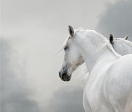 White horses. In the storm closeup stock photos