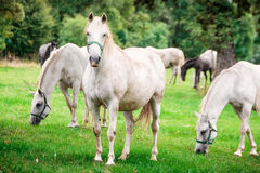White horses undrer rain Stock Photos