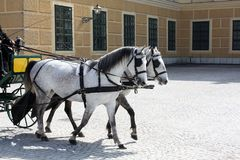 White Horses in Vienna Palace. Spring. Summer. Sunny warm day royalty free stock image