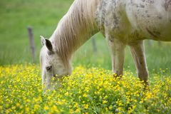 White horses and yellow flowers. White horses grazing on a lush field covered with yellow flowers and grass stock images