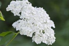 white hortensia Stock Photo