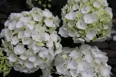White hortensia blossoms on the farmer´s market with dark background stock photography