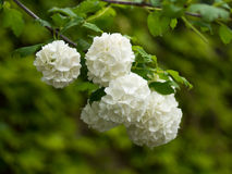 White Hortensia Stock Image