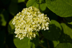 White hortensia. White garden hortensia is growing in the garden Stock Image
