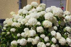 White hortensia royalty free stock photography