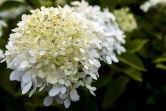 white hortensji Obrazy Royalty Free